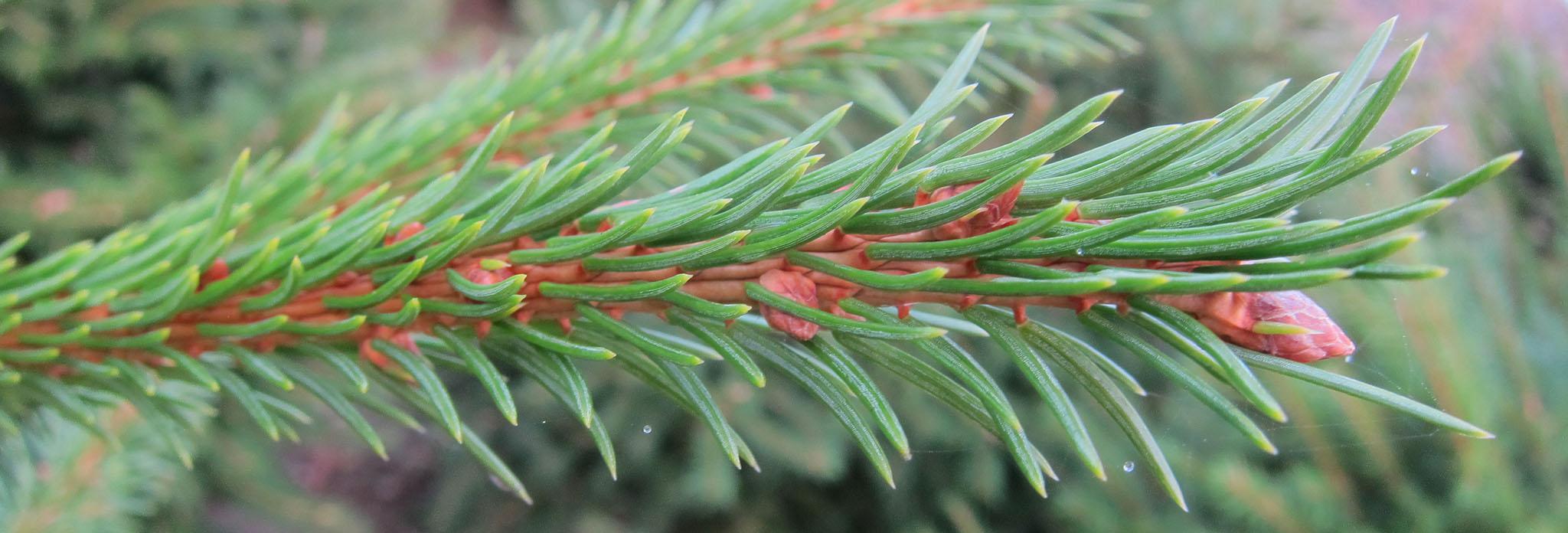 Norway Spruce Closeup